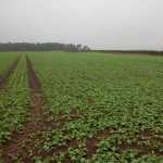 OSR drilled with Horsch Pronto