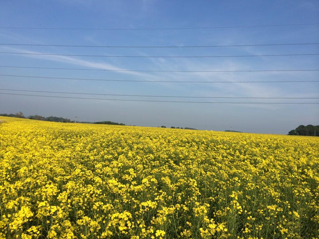 flowering OSR