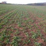Strip til drilled OSR